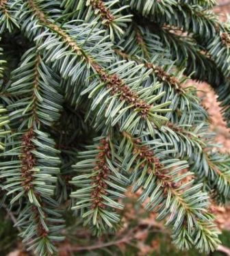 Silver Fir needles close up view, (Abies alba)