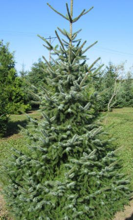 Balsam Fir Christmas Tree, (Abies balsamea)