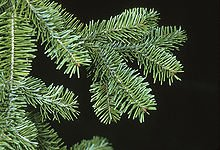 Balsam Fir branch close up view, (Abies balsamea)