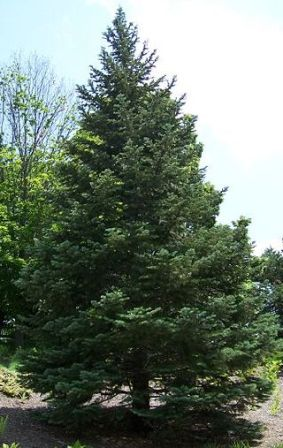 White Fir Christmas Tree, (Abies concolor)