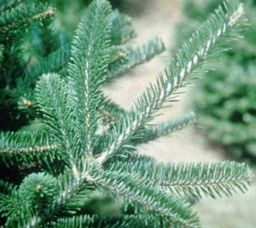 Fraser Fir Branches close up view