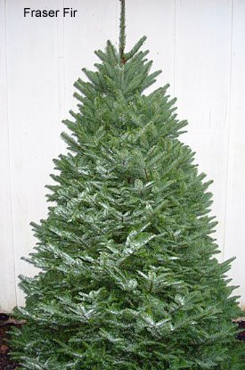Fraser Fir Christmas Tree, (Abies fraseri)