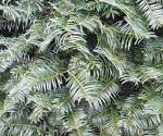 Grand Fir Branches close up view