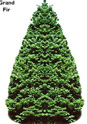 Grand Fir Christmas Tree, (Abies grandis)