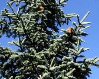 Red Fir, (Abies magnifica)