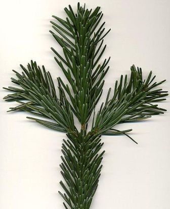 Nordmann Fir Needles, (Abies nordmanniana)