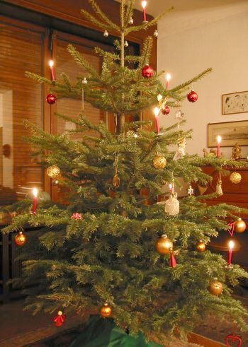 Nordmann Fir Christmas Tree, (Abies nordmanniana)