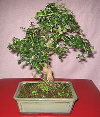 Fukien Tea Tree Bonsai