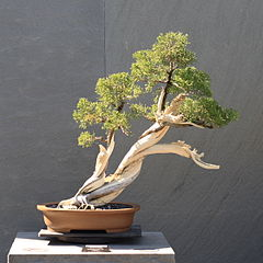 California Juniper Bonsai Tree (Juniperus californica)