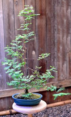 Dawn Redwood (Metasequoia glyptostroboides) Bonsai Tree