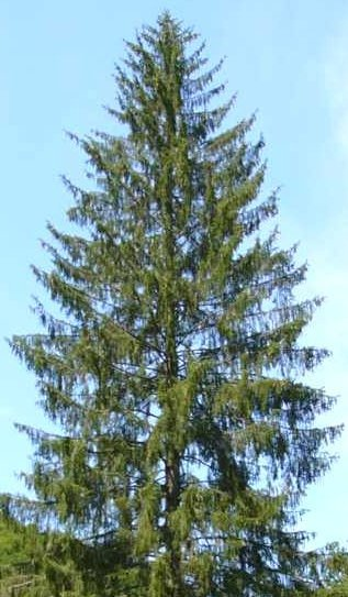 Norway Spruce, (Picea abies)
