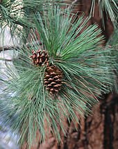 Jeffrey Pine needles and cones, (Pinus jeffreyi)