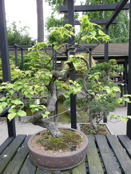 Chinese plum, Japanese Apricot Bonsai Tree (Prunus mume)