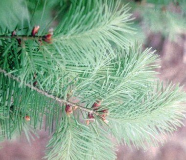 Douglas-Fir Branches and Needles close view