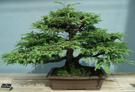 Redwood Bonsai Tree (Sequoia sempervirens)