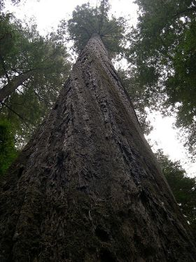 Coast Redwood Tree