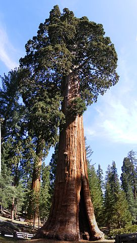 Giant Redwood, Giant Sequoia Tree